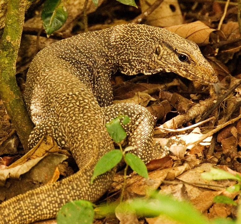 Lizard 1 copy 2