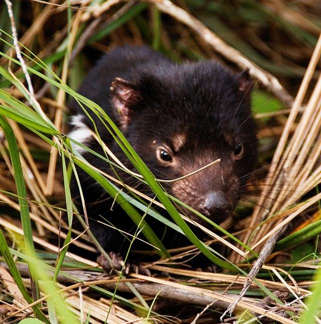 Tasmanien Devil copy